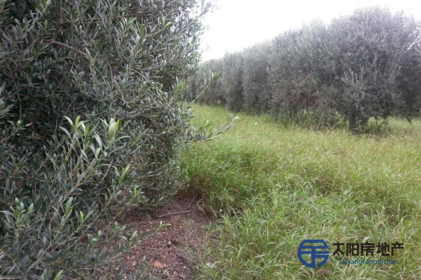 大批橄榄树,与卡塔马卡和里奥哈省的种植公司