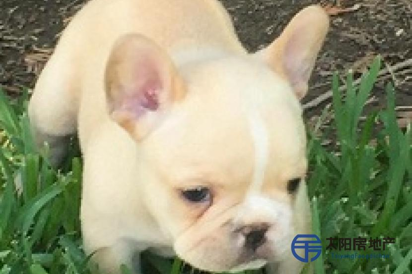 Regalo bulldog frances cachorros para adopcion