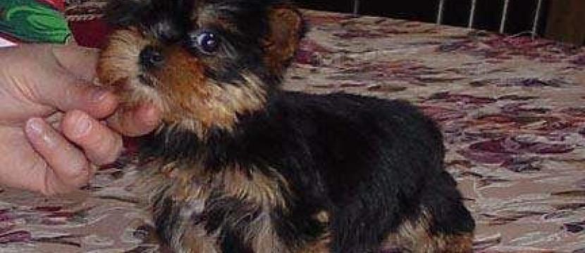 Yorkies Terrier cachorro para su aprobación